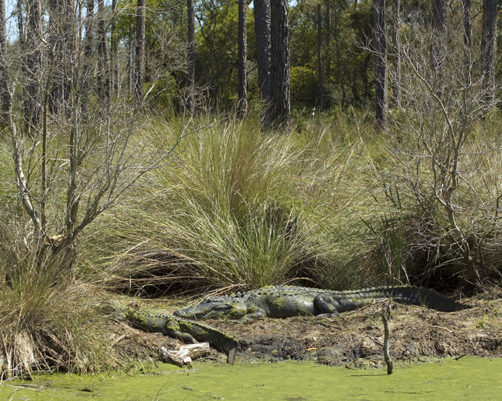 Alligators sun themselves, blending in almost too well against the greens and grays of the marshy backdrop.